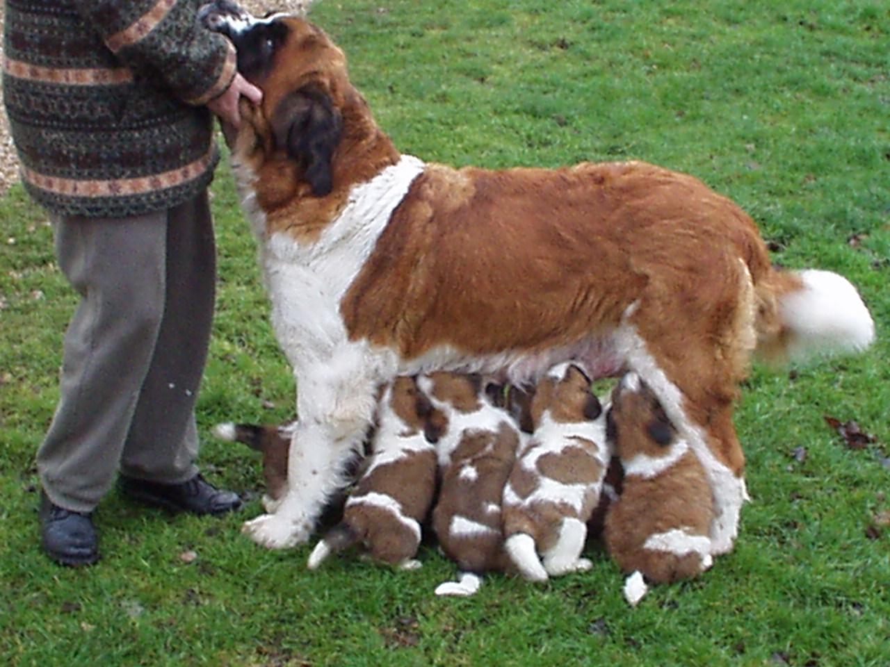 Sant Bernard puppies are cute